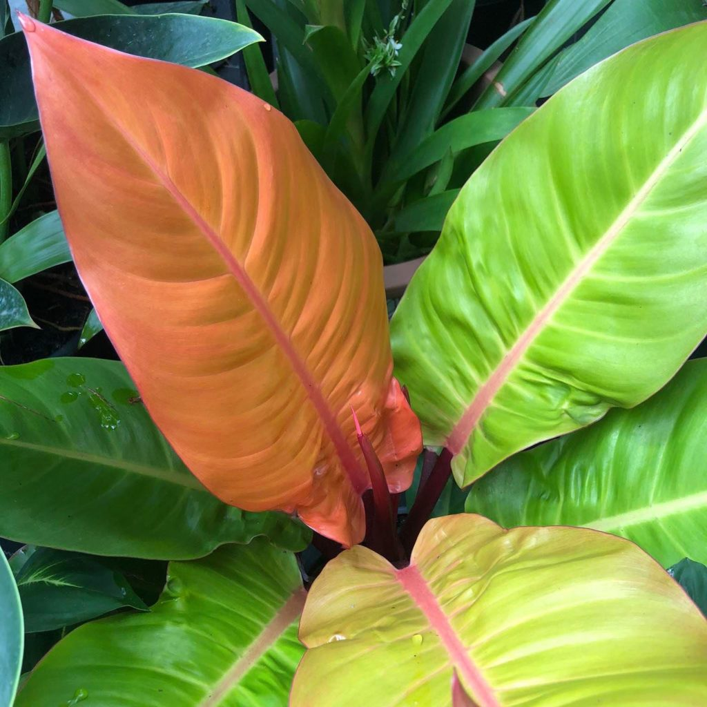 Imperial Gold Philodendron