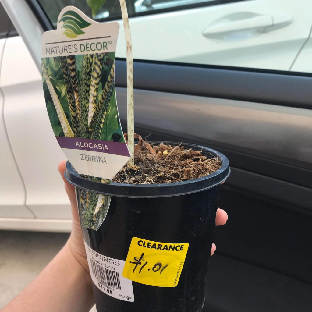 Alocasia zebrina for only $1 AUD