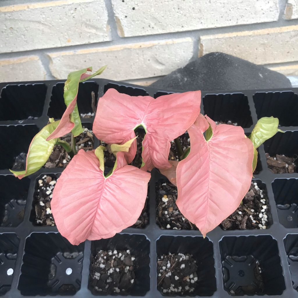 Free cuttings of pink syngonium growing fast in home made propagating mix