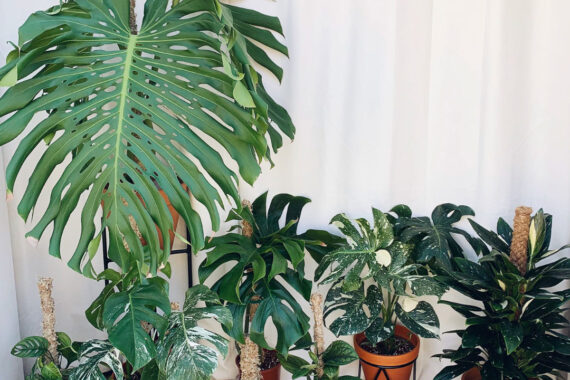Types of Monstera to Keep Indoors