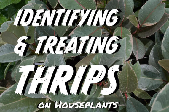 Identifying and Treating Thrips on Houseplants