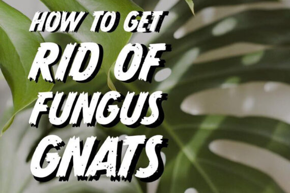 How to Get Rid of Fungus Gnats on House Plants